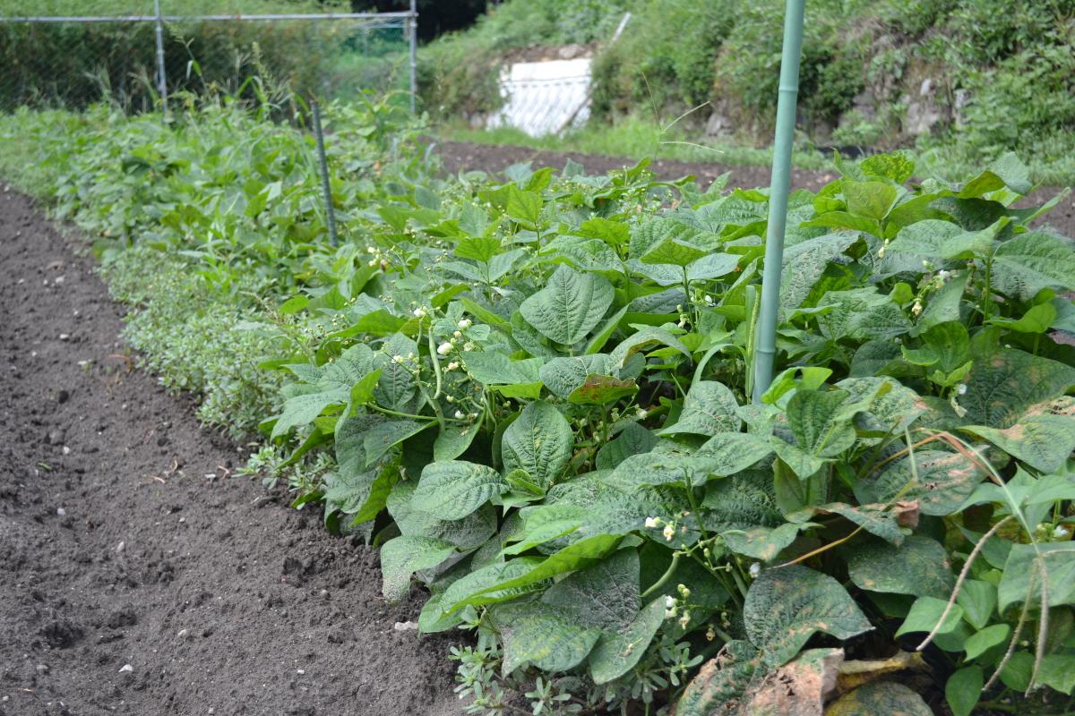 茨木市北部の山間地域さやいんげん畑