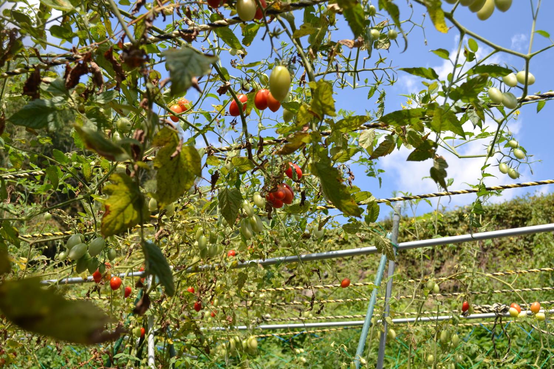 茨木市北部の山間地域トマト畑